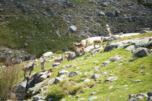 goats on green slope