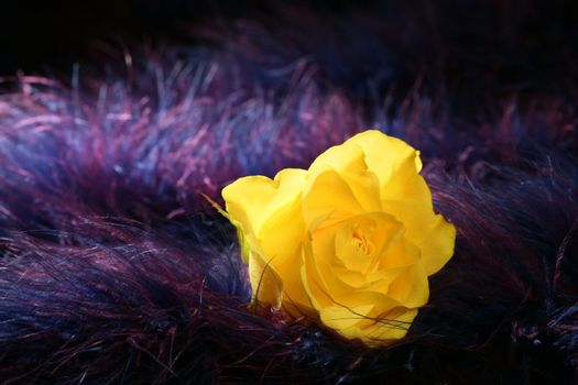 Rose flower over soft feather purple background