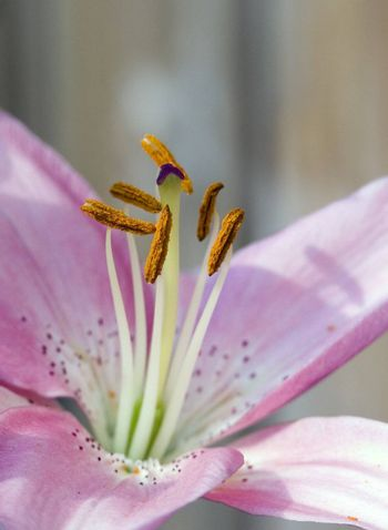 Close up of a stargazer lily