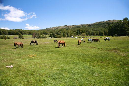 multiple horses grazing