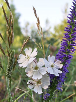 White meadow flowers