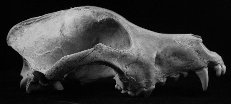 animal skull wolf dog coyote bones isolated died teeth fossil death age