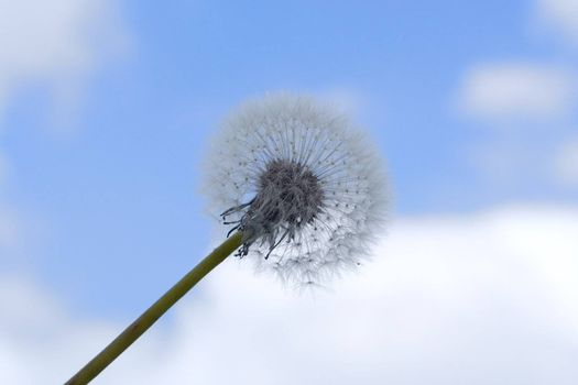 old dandelion over blue sky with clouds