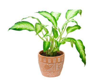 potted plant dieffenbachia, isolated on white