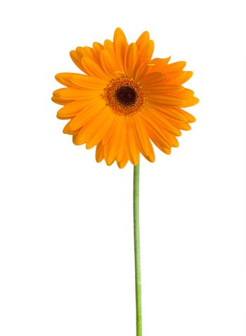 front view orange gerbera, isolated on white