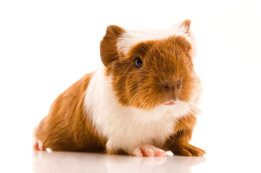 baby guinea pig