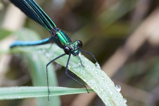 Dragonfly outdoor in summer morning. Macro image