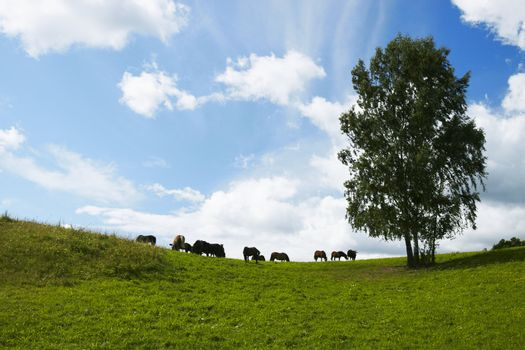 Horses graze in a field. Lithuania, august July