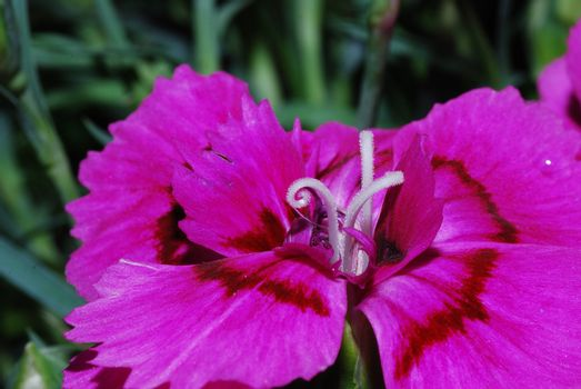 close up from a pink flower in the spring