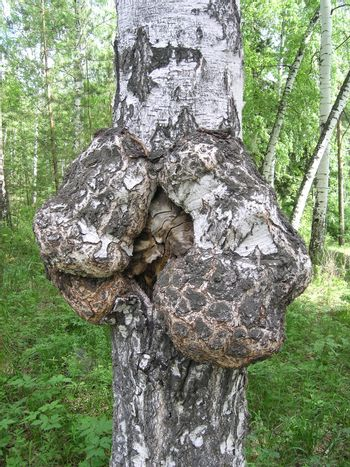 Outgrowth on a birch