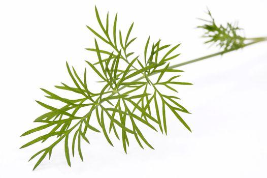 green dill. macro