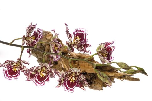 oriental orchid
