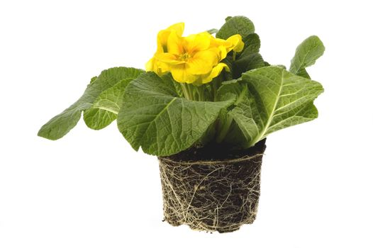 spring flowers with root system