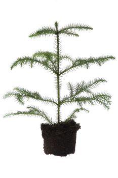 Growing araucaria pine in soil