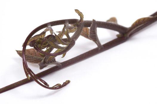 ivy. detail