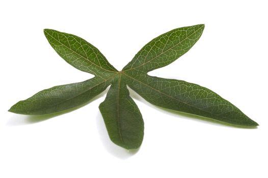 passiflora leaf