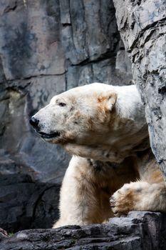 Polar bear head