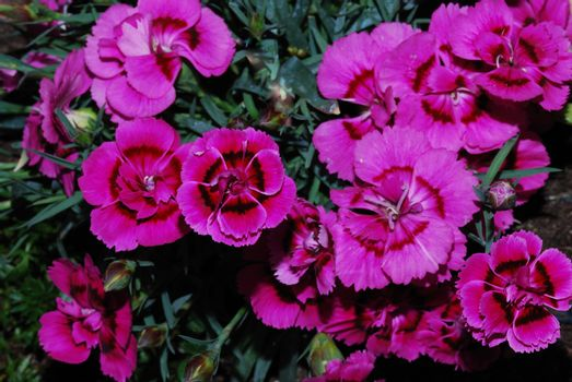 lot of pink flower in the garden and spring