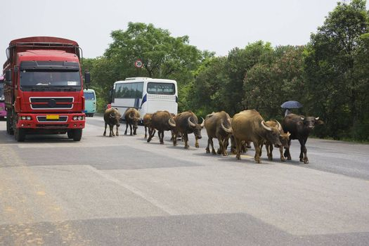 Image of a water buffalos sharing the highway with heavy vehicles at rural Guilin, China.