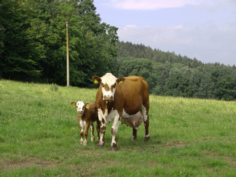 the cow with small one
