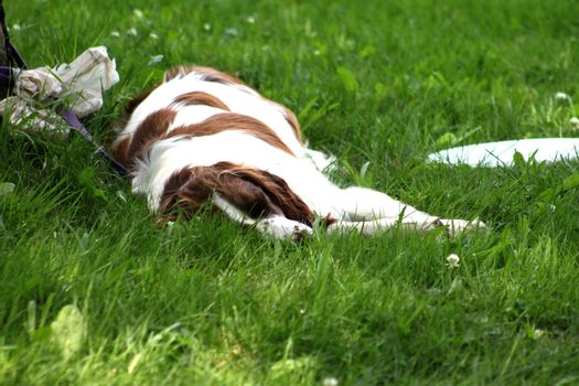 Dog taking a nap beside a frisbee