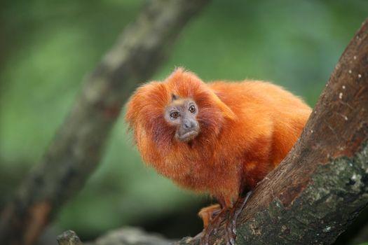 Small Golden Lion tamarin monkey