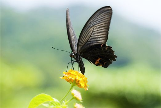 Big swallowtail butterfly flying