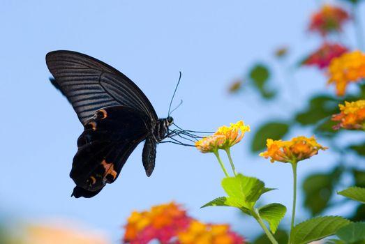beautiful swallowtail butterfly flying