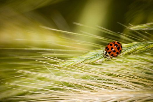 Ladybug on a grass stalk, macro photography