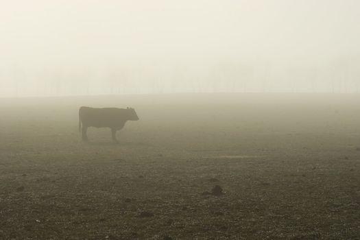 Foggy Bovine 01