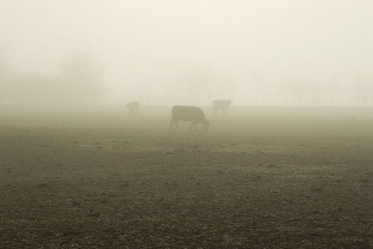 Foggy Bovine 02
