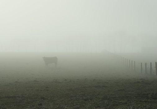 Foggy Bovine 04