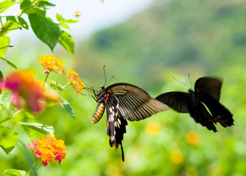 Swallowtail butterfly flying and dancing before