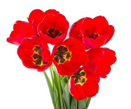 close-up red tulips bouquet, isolated on white