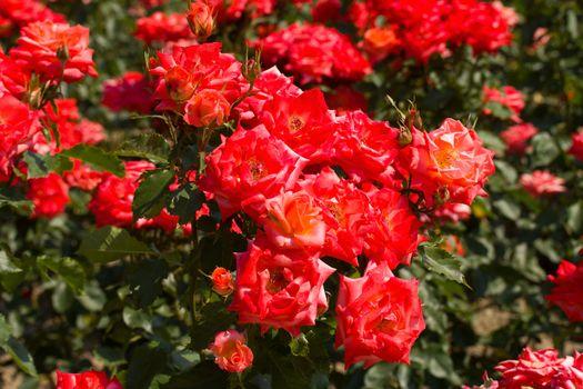 bush of beautiful roses