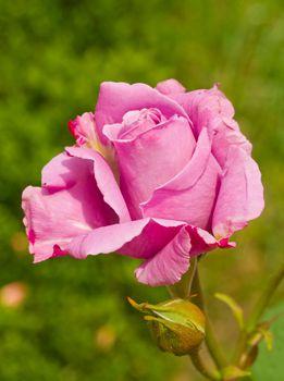 close-up violet rose against green grass background
