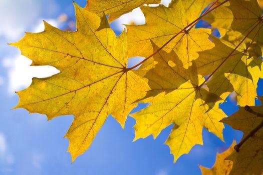 autumn maple leaves against blue sky