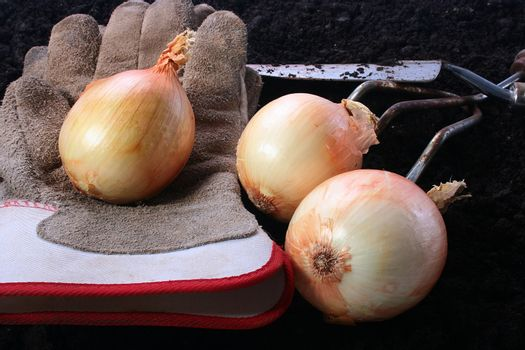Onions with gloves on the soil. On a background a shovel and a rake.