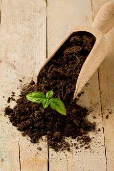 Gardening birth of basil plant