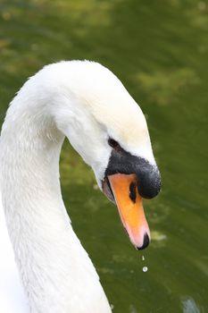Close up shot of a beauty swan