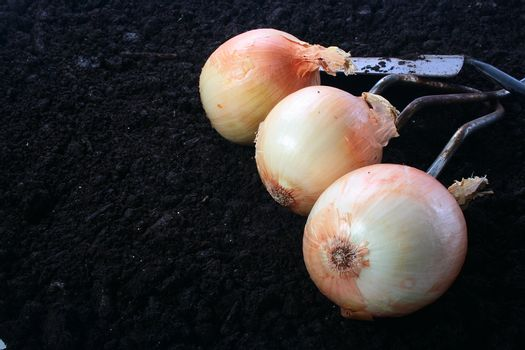 Harvesting. Onions on the soil. On a background a shovel and a rake.