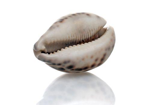 Seashell with dark spots