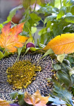 sunflower from garden