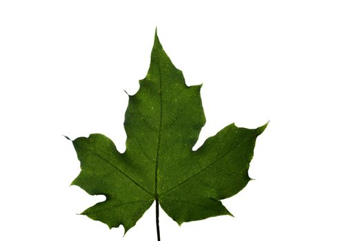 green maple leaf isolated on white, sanny, summer