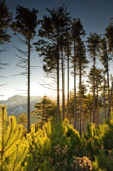 Tall pine trees at dawn