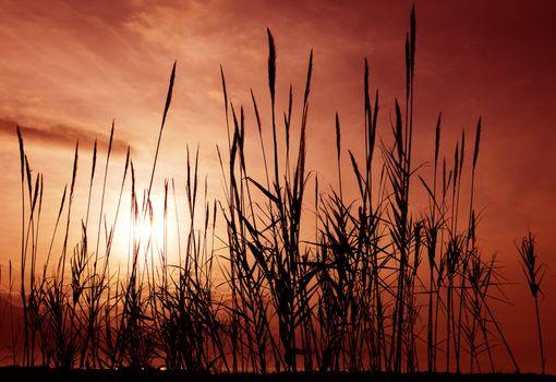 Reeds aganst a red sky