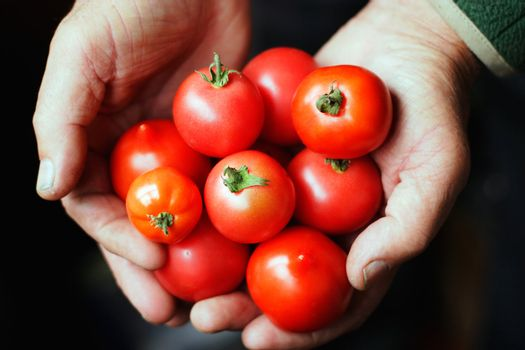 Tomatoes in hands of the old person.The top view.