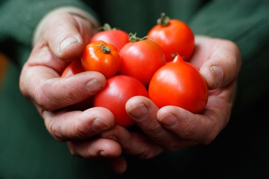 Tomatoes in hands of the old person