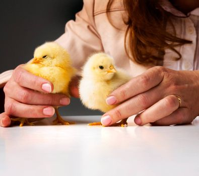 Hands of a person caring for a small chickens