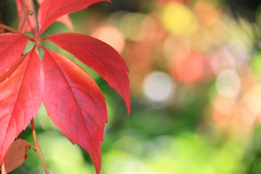 Landscape format image of red autumn leaves set to the left of the image with a soft focus foliage background. Space for copy etc to right of image.